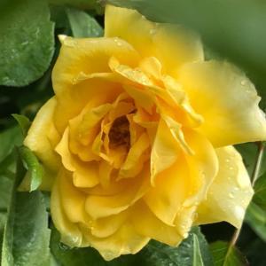 今日は花園ラグビーの日と、バラ・ゴールドバニー