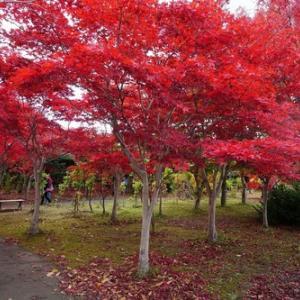 札幌、平岡樹芸センターは「真っ赤」です!