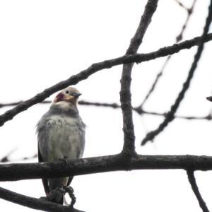 私の鳥コレクションに2種追加かも