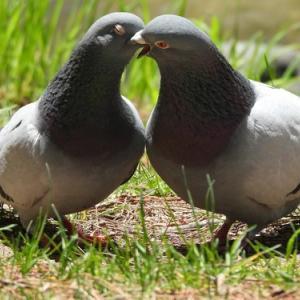 ハトの「キス」を見た!