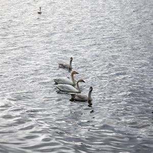 北海道、白鳥飛来(浜頓別・クッチャロ湖)