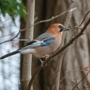 旭山記念公園、野鳥(ヒレンジャクが来てました)