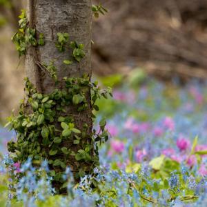 浦臼神社、エゾリスとカタクリの花