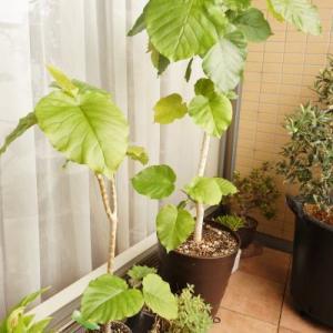 【植物のある生活】ウンベラータ再生大作戦!