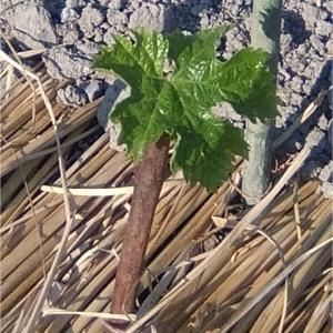 ピオーネ(挿し木)の定植
