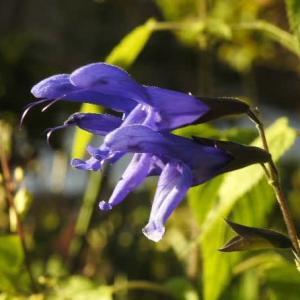 珍しいセージの花と美しいコスモスの花