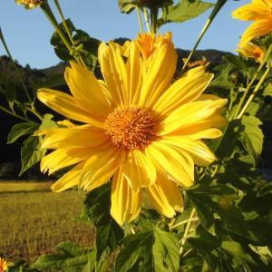 向日葵の1種と思われる花と11月21日のクリーム色のバラ