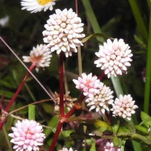 ヒメツルソバの花と愛好家の菊