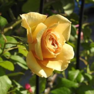 12のバラとキバナコスモス