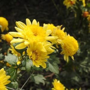 黄色の菊の花と赤のバラ