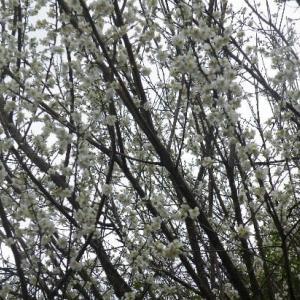 白い桃の花と赤の山茶花