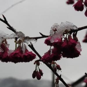 暖かい地方に薄い積雪と菜の花