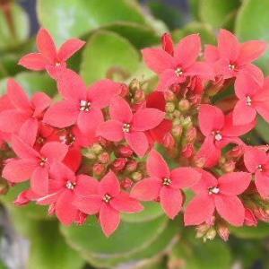 多肉植物のカランコエと桃プラムの花♪