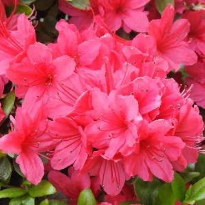 早くも咲いているツツジの花と珍しいカタバミ♪