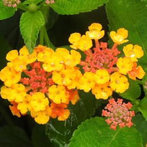 ランタナの花とホタル袋♪