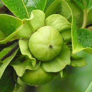 次郎柿の小さな実とタチアオイの花♪