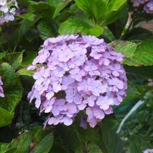 紫陽花の花と小川沿いのシュロウの木♪