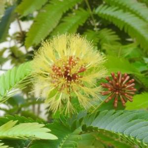 珍しいキンゴウカン(金合歓)の花と名称不詳の花♪