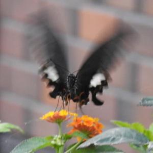 ランタナに黒アゲハ蝶と姫ヒマワリの花♪
