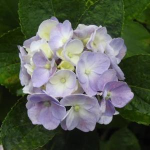 アジサイの花と白色ムクゲ♪