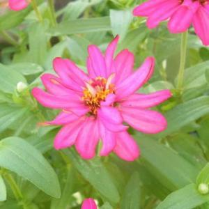 ジニア(百日草)と花トラノオの花♪