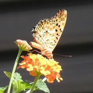 ランタナにっヒョウモン蝶と美しい真珠のブローチ♪