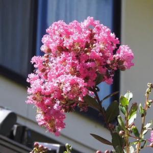 百日紅(さるすべり)の花とランタナの花♪