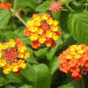 ランタナの花と糸トンボとトンボの王様のヤンマ♪