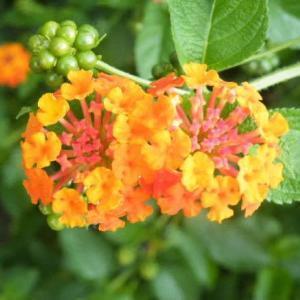 ランタナの花と可愛い野良猫と棕櫚(しゅろ)の木♪