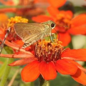 ジニア(百日草)にセセリ蝶とブッドレアの花♪