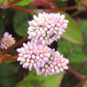 ヒメツルソバの花とコスモスの花♪
