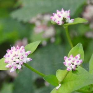 珍しい溝蕎麦(ミゾソバ)の花と背高アワダチソウの花♪
