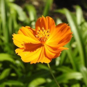 キバナコスモスと日本の秋を代表するコスモスの花♪