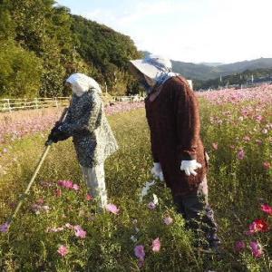 コスモス畑と案山子とハイビスカスの花♪