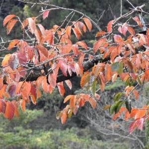 前川次郎柿の木の紅葉とハゼの木の実♪
