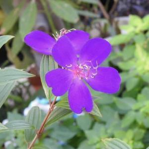 紫紺野牡丹と晩秋の愛好家のバラの花(その4)♪