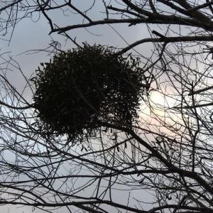 珍しい宿木(やどりぎ)とペチュニア♪