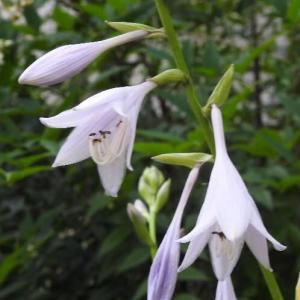 白のギボウシの花とミニバラ♪