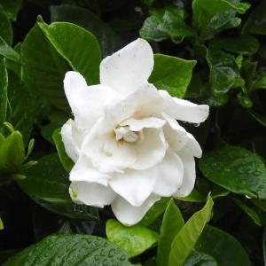小雨の中の八重クチナシの花とランタナの花♪