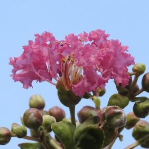 百日紅(さるすべり)の花とお隣の庭のランタナ♪