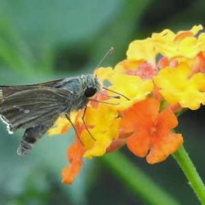 ランタナにセセリ蝶と乳草の胞子♪