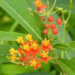 唐綿の花とその綿を着けた種と百日紅の花♪