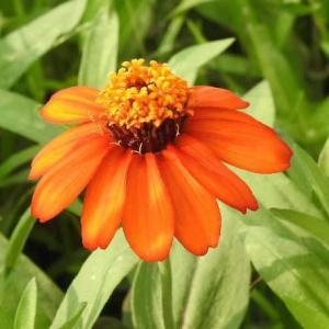 百日草(ジニア)の花とタマスダレの花♪
