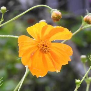小雨の中のキバナコスモスと花の上で休むショウリョウバッタ♪