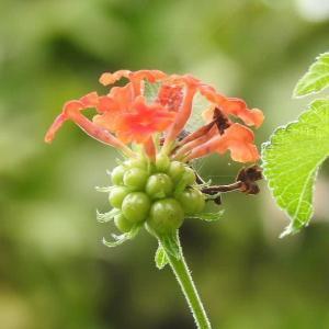 庭のランタナの花と実とタマスダレの花♪