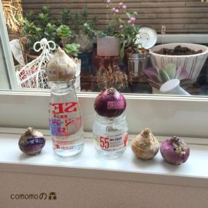 ヒヤシンス水栽培とデザートローズ