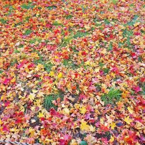 北大の銀杏並木の落ち葉