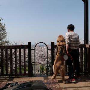 初めて桜の季節に仕事を休みました( ´−ω−` )後編!!