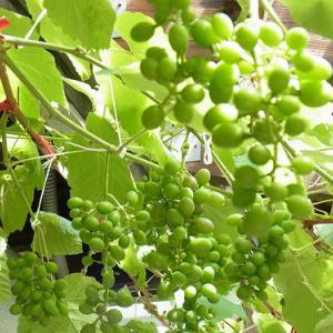 家庭栽培ブドウの育成状況(2021夏)