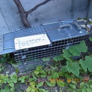 アライグマ捕獲箱を改良する